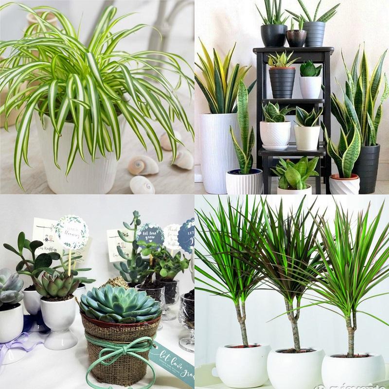 """Ανθεκτικά φυτά εσωτερικού χώρου- Από πάνω αριστερά, χλωρόφυτο """"αράχνη"""", σανσιβιέρα, διάφορα παχύφυτα, δράκαινα """"μαρτζινάτα""""."""