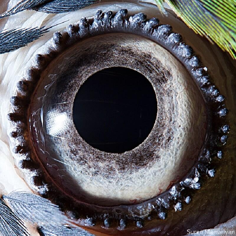 Κυανόχρυσος μακάο (Blue-yellow macaw parrot)