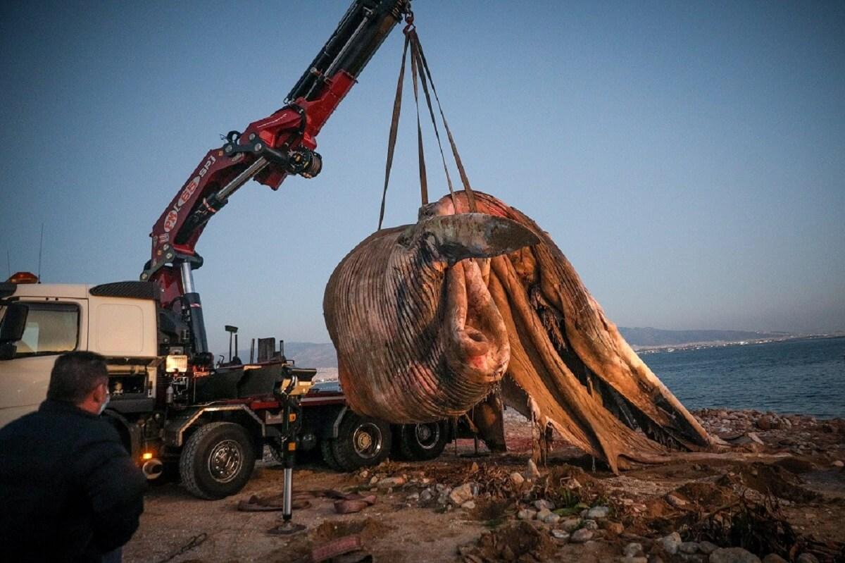 Νεκρή φάλαινα εντοπίστηκε στον Πειραιά - Εικόνες της ανάσυρσης της