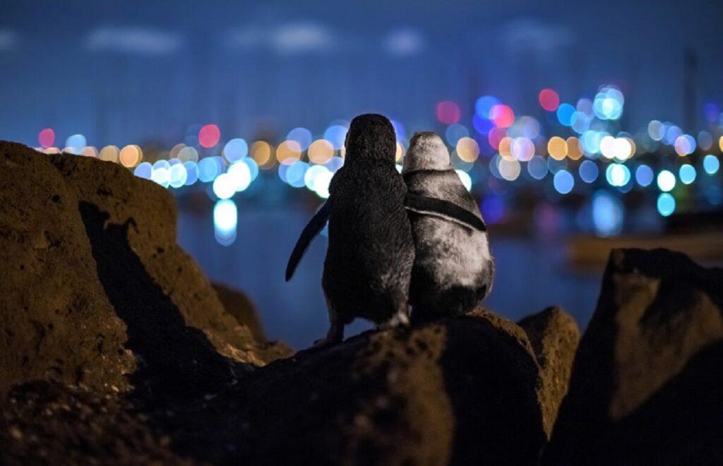 Οι δύο νικητήριοι πιγκουίνοι