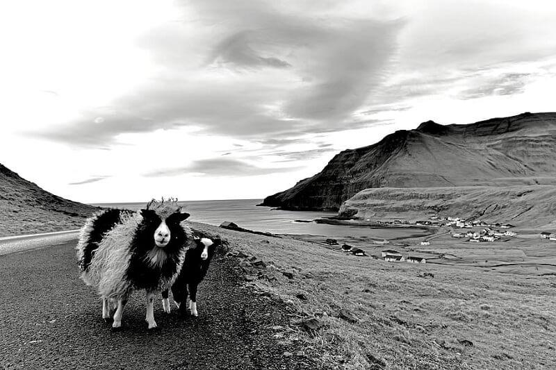 πρόβατα στις Νήσους Φερόες