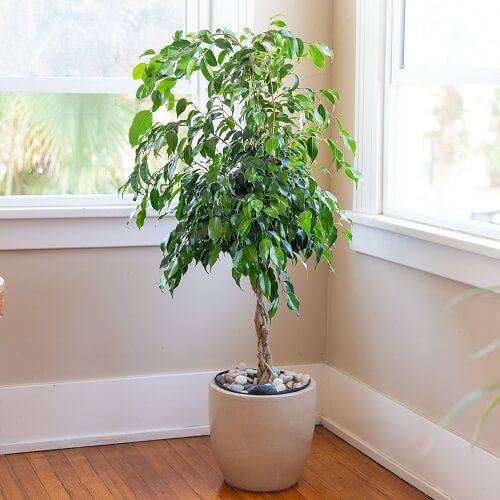 Benjamina Ficus